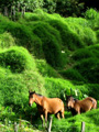 Two horses in Volcan